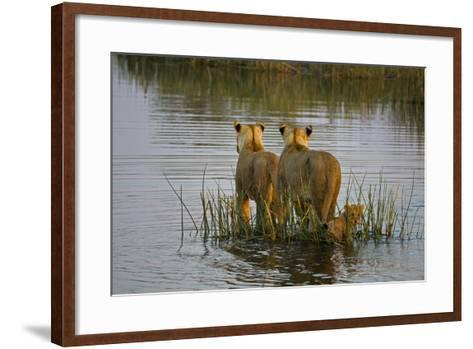 Two Lioness Crossing a Spillway with a Cub-Beverly Joubert-Framed Art Print