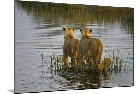 Two Lioness Crossing a Spillway with a Cub-Beverly Joubert-Mounted Photographic Print