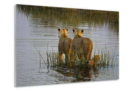 Two Lioness Crossing a Spillway with a Cub-Beverly Joubert-Metal Print