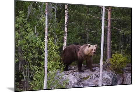 A European Brown Bear, Ursus Arctos Arctos, Walking across a Rock-Sergio Pitamitz-Mounted Photographic Print