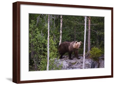 A European Brown Bear, Ursus Arctos Arctos, Walking across a Rock-Sergio Pitamitz-Framed Art Print