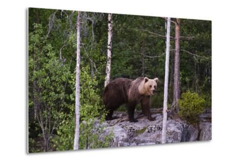 A European Brown Bear, Ursus Arctos Arctos, Walking across a Rock-Sergio Pitamitz-Metal Print