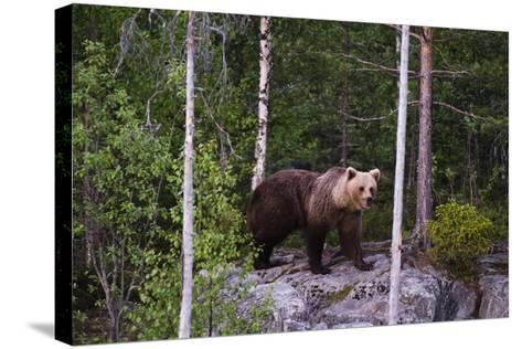 A European Brown Bear, Ursus Arctos Arctos, Walking across a Rock-Sergio Pitamitz-Stretched Canvas Print