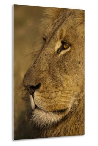 Close Up Portrait of a Male Lion-Beverly Joubert-Metal Print
