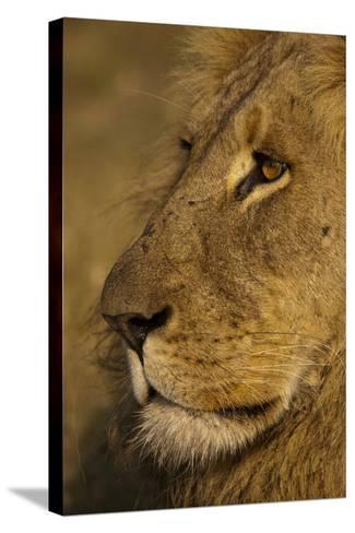 Close Up Portrait of a Male Lion-Beverly Joubert-Stretched Canvas Print