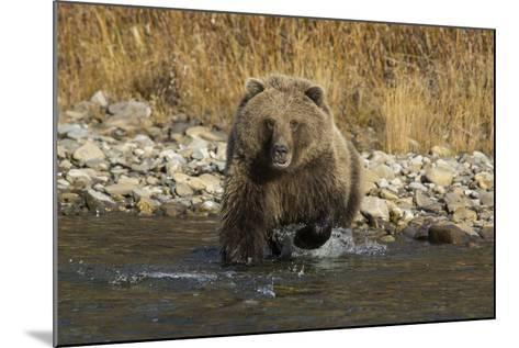 A Grizzly Bear Charges a Chum Salmon in the Fishing Branch River-Cristina Mittermeier-Mounted Photographic Print