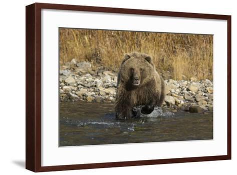 A Grizzly Bear Charges a Chum Salmon in the Fishing Branch River-Cristina Mittermeier-Framed Art Print