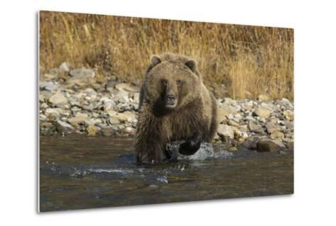 A Grizzly Bear Charges a Chum Salmon in the Fishing Branch River-Cristina Mittermeier-Metal Print