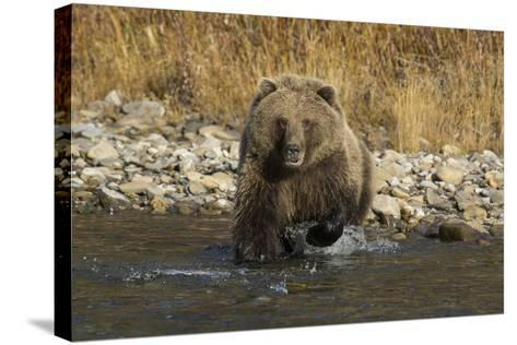 A Grizzly Bear Charges a Chum Salmon in the Fishing Branch River-Cristina Mittermeier-Stretched Canvas Print