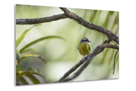 A Bananaquit Bird, Coereba Flaveola, Rests on a Branch in Ubatuba-Alex Saberi-Metal Print