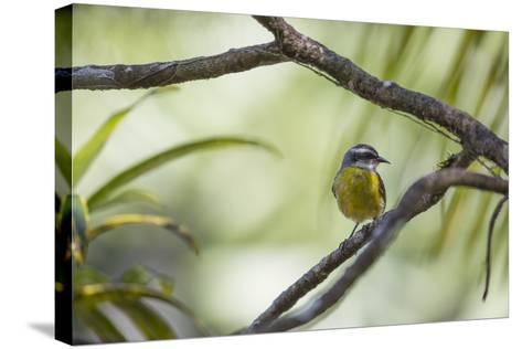 A Bananaquit Bird, Coereba Flaveola, Rests on a Branch in Ubatuba-Alex Saberi-Stretched Canvas Print