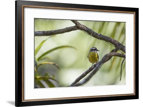 A Bananaquit Bird, Coereba Flaveola, Rests on a Branch in Ubatuba-Alex Saberi-Framed Art Print