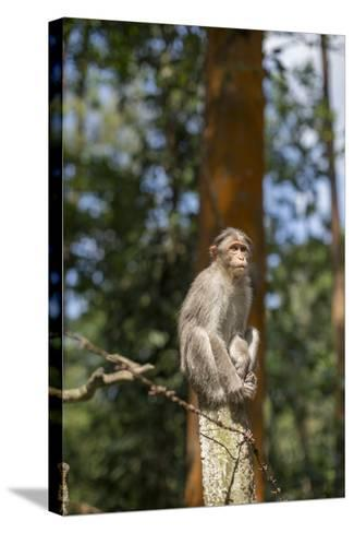 A Bonnet Macaque, Macaca Radiata, Sits on a Post to Keep Watch-Kelley Miller-Stretched Canvas Print