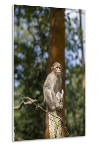 A Bonnet Macaque, Macaca Radiata, Sits on a Post to Keep Watch-Kelley Miller-Metal Print