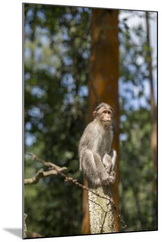 A Bonnet Macaque, Macaca Radiata, Sits on a Post to Keep Watch-Kelley Miller-Mounted Photographic Print