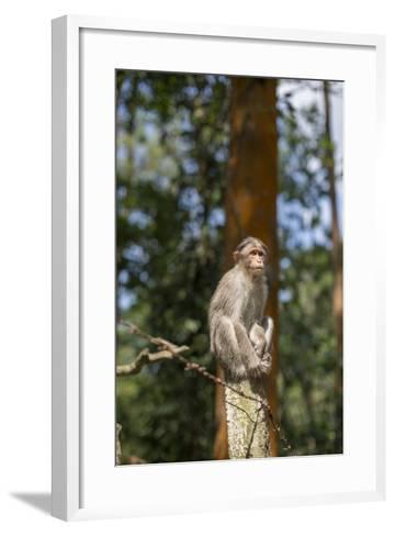 A Bonnet Macaque, Macaca Radiata, Sits on a Post to Keep Watch-Kelley Miller-Framed Art Print