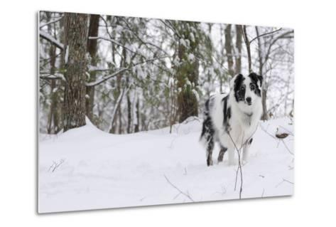 A Black and White Australian Shepherd Dog Stands in Newly Fallen Snow Near the Edge of a Thicket-Amy, Al White, Petteway-Metal Print