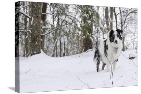 A Black and White Australian Shepherd Dog Stands in Newly Fallen Snow Near the Edge of a Thicket-Amy, Al White, Petteway-Stretched Canvas Print