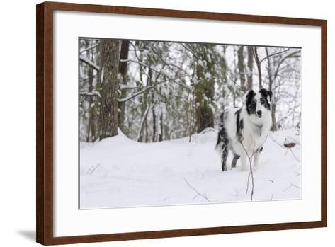 A Black and White Australian Shepherd Dog Stands in Newly Fallen Snow Near the Edge of a Thicket-Amy, Al White, Petteway-Framed Art Print