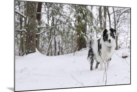 A Black and White Australian Shepherd Dog Stands in Newly Fallen Snow Near the Edge of a Thicket-Amy, Al White, Petteway-Mounted Photographic Print