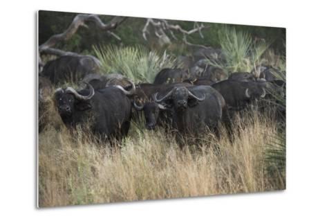 A Herd of Cape Buffalo-Bob Smith-Metal Print