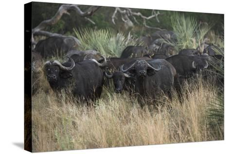 A Herd of Cape Buffalo-Bob Smith-Stretched Canvas Print