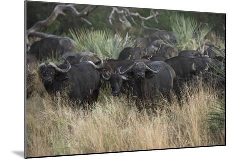 A Herd of Cape Buffalo-Bob Smith-Mounted Photographic Print
