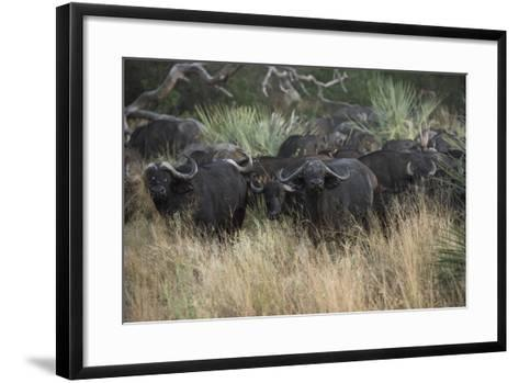 A Herd of Cape Buffalo-Bob Smith-Framed Art Print