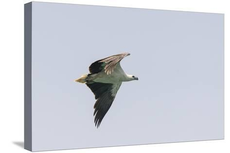 A White-Bellied Sea Eagle in Flight-Jeff Mauritzen-Stretched Canvas Print