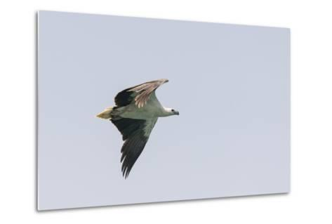 A White-Bellied Sea Eagle in Flight-Jeff Mauritzen-Metal Print