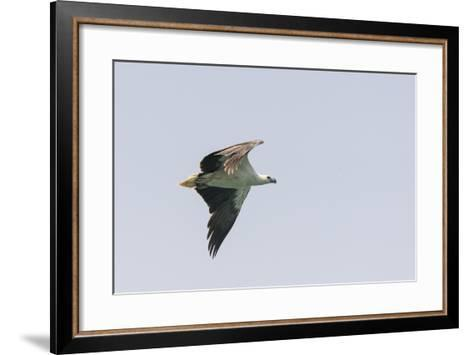 A White-Bellied Sea Eagle in Flight-Jeff Mauritzen-Framed Art Print