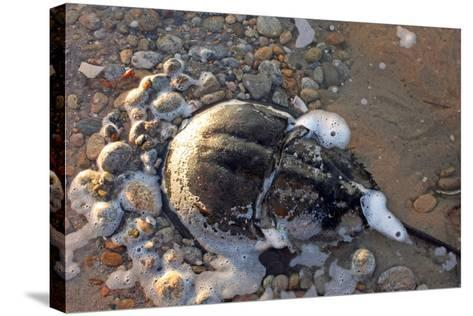 A Female Horseshoe Crab, Limulus Polyphemus, Laying Eggs on a Beach-Donna O'Meara-Stretched Canvas Print