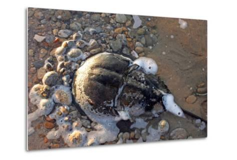 A Female Horseshoe Crab, Limulus Polyphemus, Laying Eggs on a Beach-Donna O'Meara-Metal Print