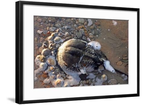 A Female Horseshoe Crab, Limulus Polyphemus, Laying Eggs on a Beach-Donna O'Meara-Framed Art Print