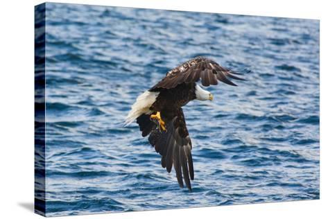 A Bald Eagle, Haliaeetus Leucocephalus, with a Small Caught Fish in its Talons-Darlyne A^ Murawski-Stretched Canvas Print