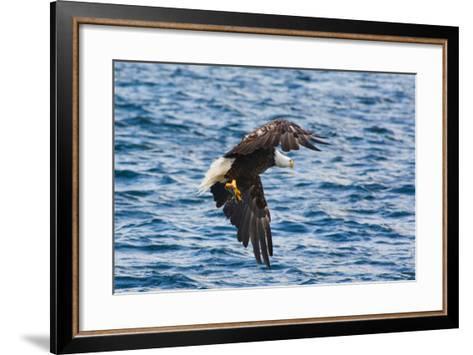 A Bald Eagle, Haliaeetus Leucocephalus, with a Small Caught Fish in its Talons-Darlyne A^ Murawski-Framed Art Print