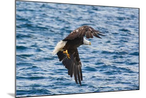 A Bald Eagle, Haliaeetus Leucocephalus, with a Small Caught Fish in its Talons-Darlyne A^ Murawski-Mounted Photographic Print