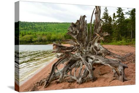Large Driftwood Tree on the Warren Lake Beach, in Cape Breton Highlands National Park-Darlyne A^ Murawski-Stretched Canvas Print
