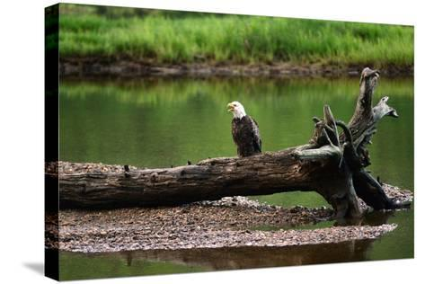 A Bald Eagle, Haliaeetus Leucocephalus, Converses with its Mate, Ingonish River Delta-Darlyne A^ Murawski-Stretched Canvas Print