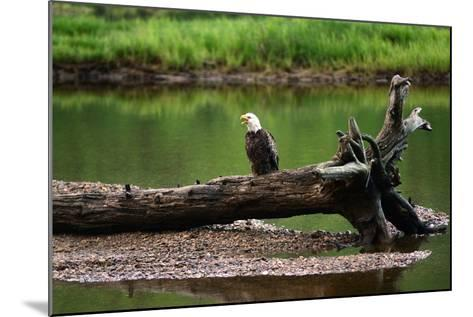 A Bald Eagle, Haliaeetus Leucocephalus, Converses with its Mate, Ingonish River Delta-Darlyne A^ Murawski-Mounted Photographic Print