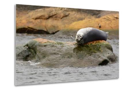 A Gray Seal, Halichoerus Grypus, Basking on a Rock Off the Shore of Bird Island-Darlyne A^ Murawski-Metal Print