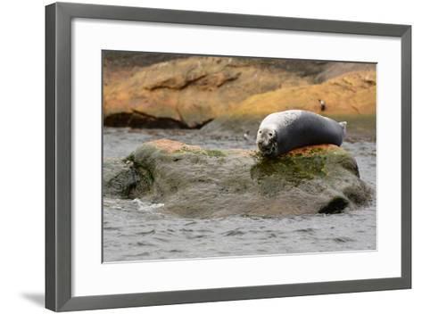A Gray Seal, Halichoerus Grypus, Basking on a Rock Off the Shore of Bird Island-Darlyne A^ Murawski-Framed Art Print