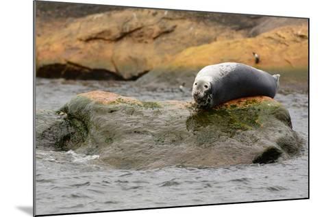 A Gray Seal, Halichoerus Grypus, Basking on a Rock Off the Shore of Bird Island-Darlyne A^ Murawski-Mounted Photographic Print