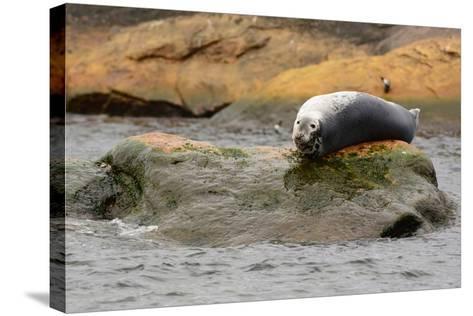 A Gray Seal, Halichoerus Grypus, Basking on a Rock Off the Shore of Bird Island-Darlyne A^ Murawski-Stretched Canvas Print