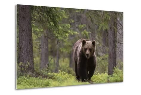 A European Brown Bear, Ursus Arctos Arctos, Walking in the Forest-Sergio Pitamitz-Metal Print