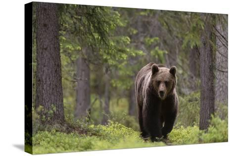 A European Brown Bear, Ursus Arctos Arctos, Walking in the Forest-Sergio Pitamitz-Stretched Canvas Print
