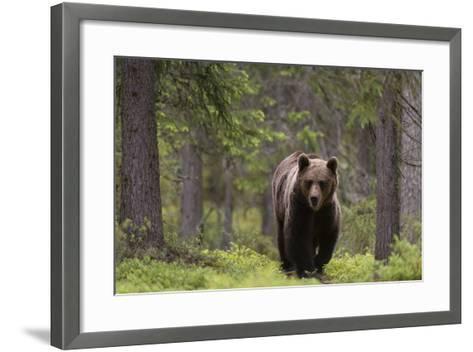 A European Brown Bear, Ursus Arctos Arctos, Walking in the Forest-Sergio Pitamitz-Framed Art Print