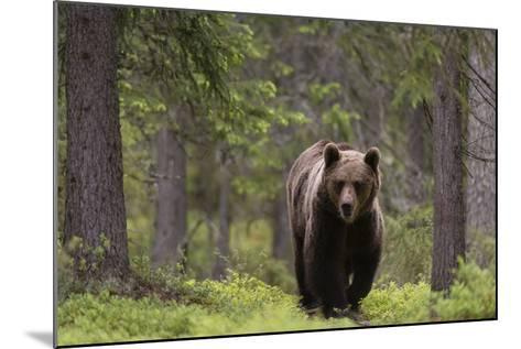 A European Brown Bear, Ursus Arctos Arctos, Walking in the Forest-Sergio Pitamitz-Mounted Photographic Print