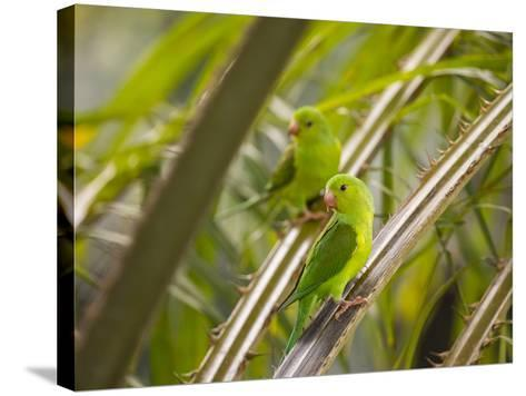 Plain Parakeets, Brotogeris Tirica, Sit on Branches in the Atlantic Rainforest, Ubatuba-Alex Saberi-Stretched Canvas Print