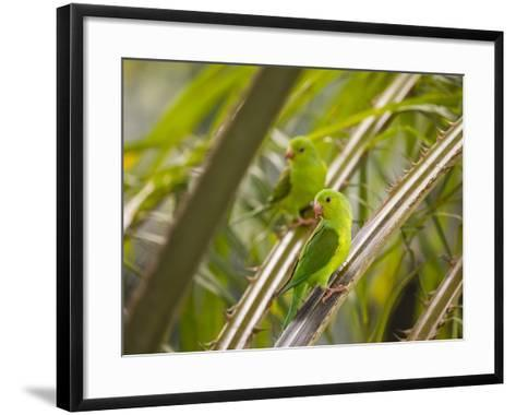 Plain Parakeets, Brotogeris Tirica, Sit on Branches in the Atlantic Rainforest, Ubatuba-Alex Saberi-Framed Art Print